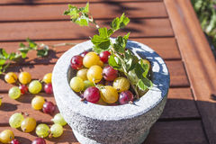 Ribes uva-crispa gooseberries Stock Images