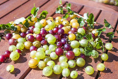 Ribes uva-crispa gooseberry Stock Images