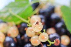 Ribes variopinto della frutta del primo piano di estate del raccolto Fotografia Stock