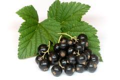 Ribesdivaricatum, svart vinbär med bladet som isoleras på vit Arkivfoton