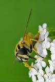 Ribesii在一朵白色黄色花 图库摄影