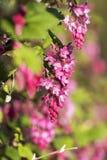 Ribessanguineum, de bloeiende bes Stock Afbeelding