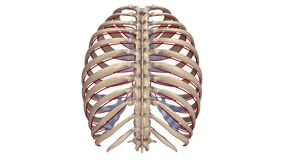 Ribs with Arteries posterior view. The human rib cage is made up of 12 paired rib bones; each are symmetrically paired on a right and left side. Of all 24 ribs Royalty Free Stock Photography