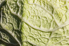 The ribs of a cabbage leaf Stock Image