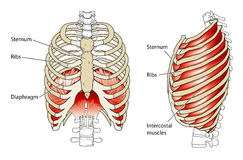 Ribs and diaphragm. Drawing of the ribs to show the intercostal muscles and the position of the diaphragm Stock Photography
