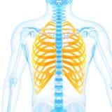The ribs Stock Photo