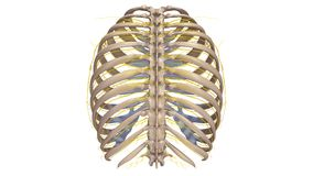 Ribs with Nerves posterior view. The human rib cage is made up of 12 paired rib bones; each are symmetrically paired on a right and left side. Of all 24 ribs Royalty Free Stock Image