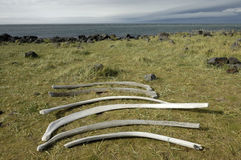 Ribs of whale at Iceland coast. Stock Photography
