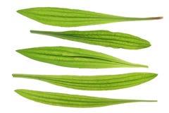 Ribwort大蕉(车前草属lanceolata) 免版税库存照片