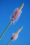 Ribwort with bright blue sky Stock Photography