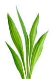 Ribwort (lanceolata del Plantago) Imagenes de archivo