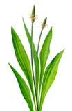 Ribwort (lanceolata del Plantago) Imágenes de archivo libres de regalías