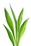 Ribwort (Plantago lanceolata) Stock Images