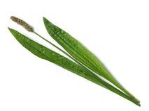 Ribwort plantain. (Plantago Lanceolata) - isolated and white stock photo