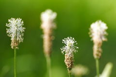 Ribwort plantain. Perfect for cough medicine Royalty Free Stock Images