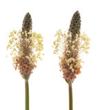 Ribwort plantain Royalty Free Stock Photography