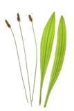 Ribwort plantain (Plantago lanceolata) Royalty Free Stock Image