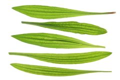 Ribwort plantain (Plantago lanceolata) Stock Photo