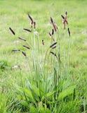 Ribwort Plantain. (Plantago lanceolata) growing on lawn Royalty Free Stock Image