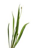 Ribwort Plantain Royalty Free Stock Photos