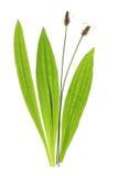 Ribwort plantain (Plantagolanceolataen) Royaltyfri Fotografi