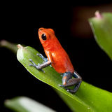 rica красного цвета отравы джунглей лягушки дротика Косты Стоковая Фотография RF