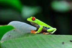 肋前缘眼睛青蛙红色rica结构树 库存图片