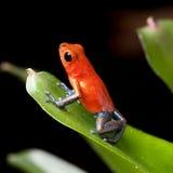 肋前缘箭青蛙密林毒物红色rica 免版税图库摄影