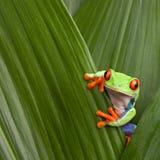 肋前缘注视青蛙密林宏观红色rica结构树 免版税库存图片