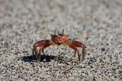 rica de crabe de côte Photo stock