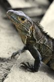 rica iguana πλευρών Στοκ φωτογραφία με δικαίωμα ελεύθερης χρήσης