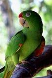 rican肋前缘的鹦鹉 库存图片