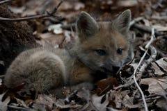 Ricanement de chiot de Fox Photos stock