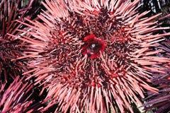 Ricci di mare rosa e porpora Immagini Stock