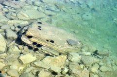 Ricci di mare sulla pietra in acqua dell'oceano immagini stock libere da diritti