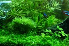 Riccia na planta do aquário fotos de stock royalty free