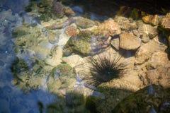 Riccio di mare, fine sul discolo di Mar Nero o riccio di mare lungo delle spine dorsali un animale esotico dell'acqua indicato in immagine stock