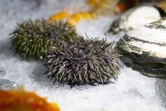 Riccio di mare Frutti di mare su ghiaccio immagine stock libera da diritti