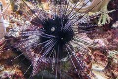 Riccio di mare lungo nero della spina dorsale che tir indietroare nel suo occhio fotografia stock libera da diritti