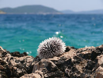 Riccio di mare su roccia Fotografia Stock Libera da Diritti