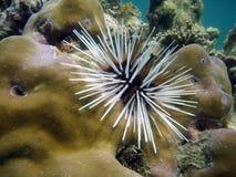 Riccio di mare sulla scogliera fotografia stock