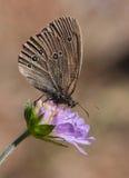 Riccio su un fiore blu Fotografia Stock Libera da Diritti