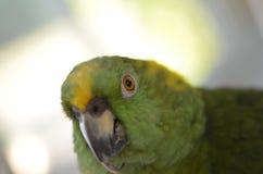 Ricciola di Amazon fotografie stock libere da diritti