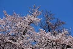Ricciolo del fiore di ciliegia Immagini Stock Libere da Diritti