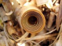 Ricciolo dell'erba di pampa immagine stock