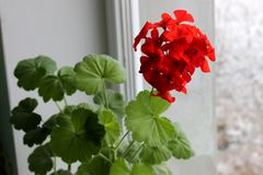 Ricciolo molto bello e luminoso del fiore fotografia stock