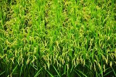 Rice śródpolny przygotowywający zbierającym Obrazy Royalty Free