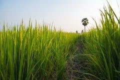 Rice światło słoneczne i pola Obraz Royalty Free