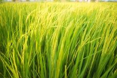 Rice światło słoneczne i pola Fotografia Stock