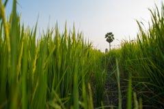 Rice światło słoneczne i pola Fotografia Royalty Free